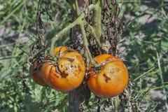 Pomodori malati Fotografie Stock Libere da Diritti