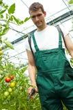 Pomodori manuring del coltivatore Fotografia Stock Libera da Diritti