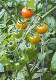 Pomodori maturati vite Fotografia Stock Libera da Diritti