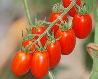 Pomodori maturi Fotografia Stock