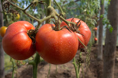Pomodori maturi con i segni di acqua Fotografia Stock Libera da Diritti