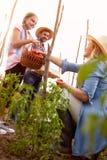 Pomodori maturi della scelta della famiglia dell'agricoltore Fotografia Stock Libera da Diritti