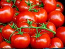 Pomodori maturi della vite rossa brillante fotografia stock libera da diritti