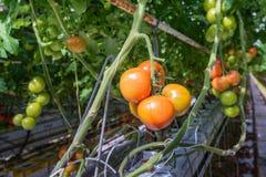 Pomodori maturi e non maturi in una serra Fotografia Stock Libera da Diritti