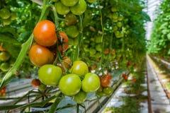 Pomodori maturi e non maturi in una serra Immagine Stock Libera da Diritti