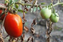 Pomodori maturi e verdi Immagini Stock