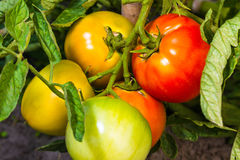 Pomodori maturi ed acerbi freschi Fotografie Stock Libere da Diritti