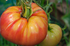 Pomodori maturi, grandi Fotografia Stock