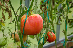 Pomodori maturi, grandi Immagine Stock