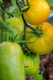 Pomodori maturi, grandi Fotografie Stock