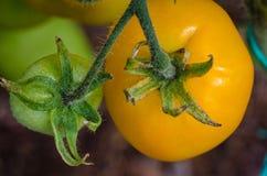 Pomodori maturi, grandi Fotografia Stock Libera da Diritti