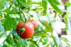 Pomodori maturi naturali sulla pianta di pomodori Immagini Stock