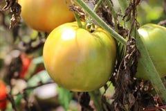 Pomodori maturi nel giardino Fotografia Stock Libera da Diritti