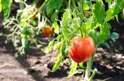 Pomodori maturi pronti a selezionare Fotografia Stock Libera da Diritti