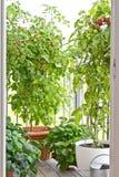 Pomodori maturi sulle piante Fotografia Stock