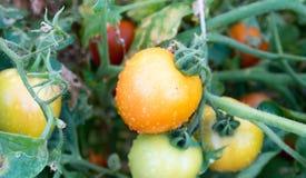 Pomodori nel giardino, orto con le piante dei pomodori rossi Pomodori maturi su una vite, crescente su un giardino Pomodori rossi Immagini Stock Libere da Diritti