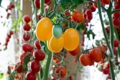 Pomodori nel giardino, orto con le piante dei pomodori rossi Pomodori maturi su una vite, crescente su un giardino Pomodori rossi Fotografie Stock