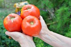 Pomodori nelle mani senior della donna Immagine Stock