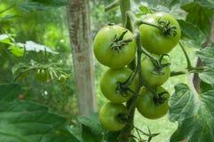 Pomodori non maturi Fotografia Stock