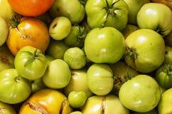 Pomodori non maturi del giardino Fotografia Stock