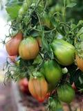 Pomodori non maturi verdi che crescono nella serra fotografia stock libera da diritti