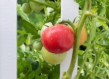 Pomodori nostrani sul recinto bianco con le gocce di pioggia su loro Fotografia Stock