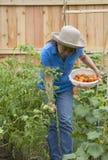 Pomodori organici del raccolto Fotografia Stock Libera da Diritti