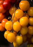 Pomodori organici di recente selezionati Fotografie Stock