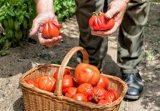 Pomodori organici di recente selezionati nel canestro Fotografia Stock