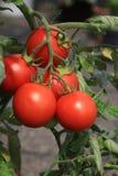 Pomodori organici freschi sul campo Fotografia Stock Libera da Diritti