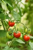 Pomodori organici maturi Fotografia Stock