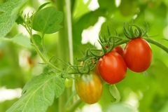 Pomodori organici maturi Immagini Stock Libere da Diritti