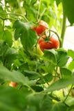 Pomodori organici maturi Fotografie Stock Libere da Diritti