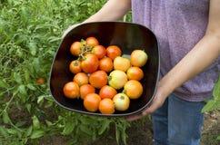 Pomodori organici piacevoli Fotografia Stock