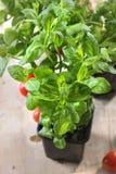 Pomodori piantati Fotografie Stock Libere da Diritti