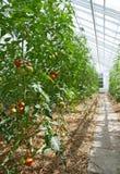 pomodori pieni di sole della serra Fotografia Stock Libera da Diritti