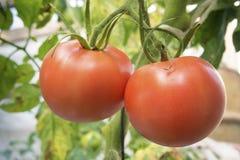 Pomodori rossi crescenti Fotografia Stock Libera da Diritti