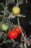 Pomodori rossi e verdi Fotografie Stock