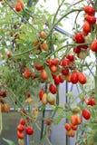 Pomodori rossi e verdi che maturano sul cespuglio in una serra Fotografie Stock