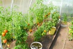 Pomodori rossi e verdi che maturano in una serra del policarbonato trasparente fotografie stock libere da diritti