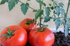 Pomodori rossi squisiti Bei pomodori maturi rossi di cimelio coltivati in una serra Immagini Stock