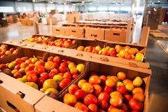 Pomodori rossi sulla fabbrica di trasformazione dei vegetali Fotografie Stock Libere da Diritti