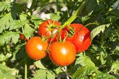 Pomodori rossi sulla vite Immagine Stock Libera da Diritti
