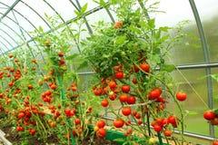 Pomodori rossi in una serra Fotografia Stock