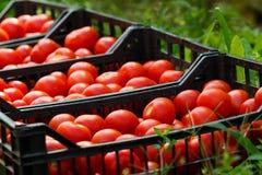 Pomodori sani Fotografia Stock Libera da Diritti