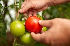 Pomodori senior di raccolto dell'agricoltore alla serra dell'azienda agricola Fotografia Stock Libera da Diritti