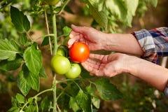 Pomodori senior di raccolto dell'agricoltore alla serra dell'azienda agricola Immagini Stock