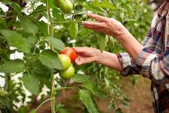 Pomodori senior di raccolto della donna alla serra dell'azienda agricola Immagini Stock Libere da Diritti