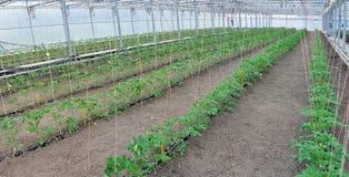 Pomodori in serra Fotografia Stock