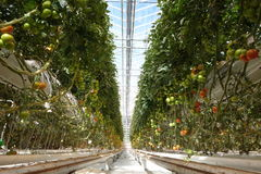 Pomodori in serra Fotografia Stock Libera da Diritti